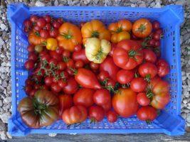 Cageaot de tomates du jardin